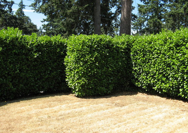 shrubs for a natural privacy screen