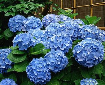 French hydrangea is one of our favorite colorful flowers that do well in shade
