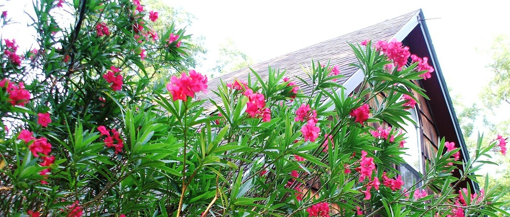 oleander is a popular plant choice for natural privacy fences