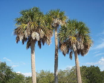 Sabal palms are the most commonly removed palm tree in Northwest Florida