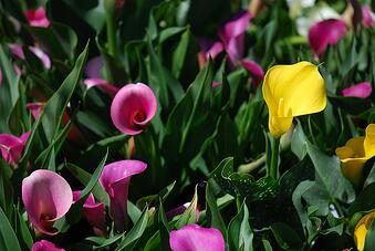 calla lily is one of our favorite colorful flowers that do well in shade