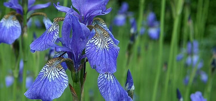 Blue Flag Iris waterfront flowering plant