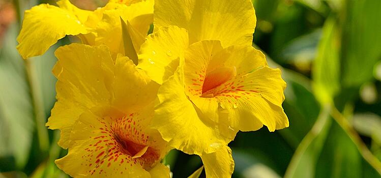 Golden Canna waterfront flowering plant