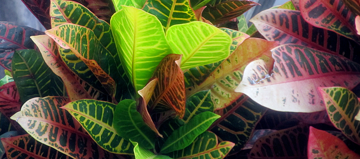 crotons are a low maintenance plant that is a colorful foliage alternative to flowers