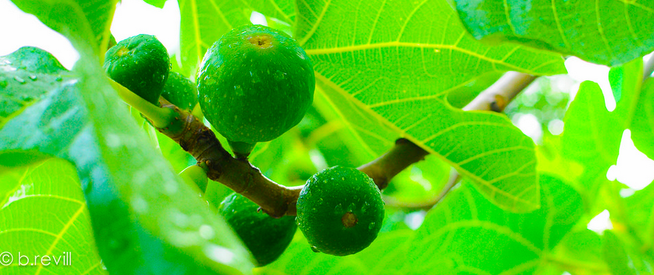 Fig trees are one of the best fruit trees for edible landscaping in
