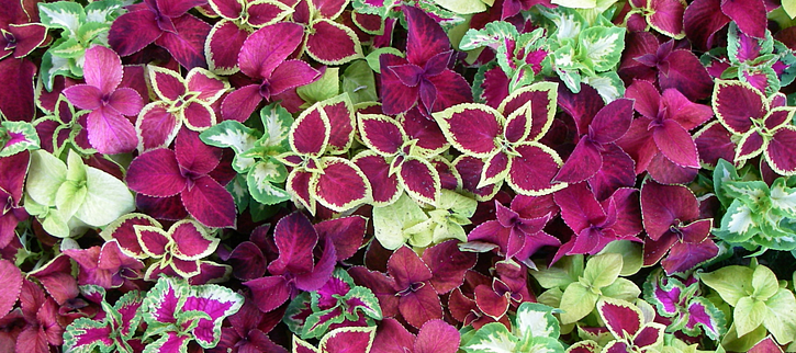 coleus is a low maintenance plant that is a colorful foliage alternative to flowers
