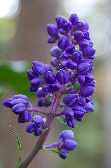 blue ginger is one of our favorite colorful flowers that do well in shade