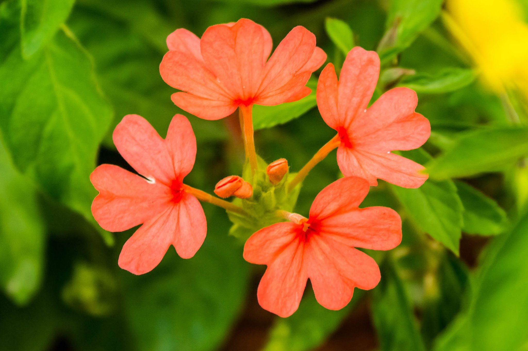 crossandra orange marmalade is one of our favorite colorful flowers that do well in shade