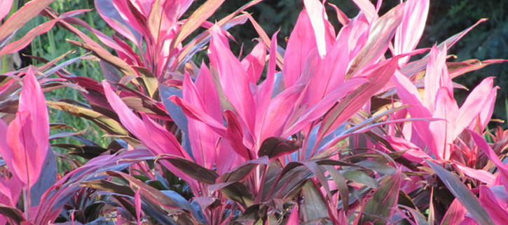 dracaena is a low maintenance plant that is a colorful foliage alternative to flowers